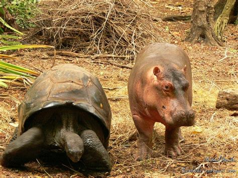 The Tortoise That Adopted a Hippo   The Freaky