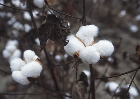 Growing Cotton - Know How to Grow Organic Cotton Successfully