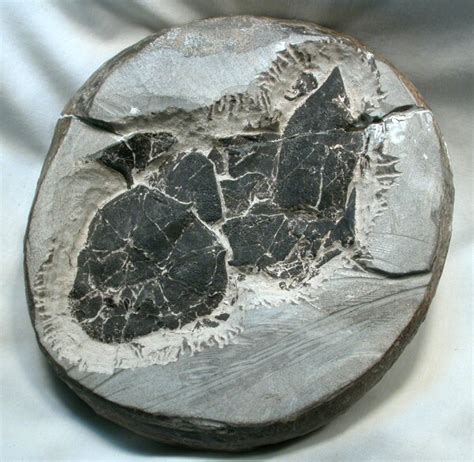 Placoderm Armored Fish Fossil
