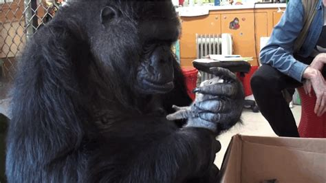 You Might Cry Watching Koko The Gorilla And Her New Kittens