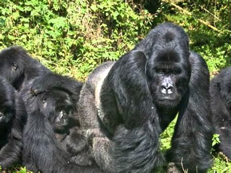 funny gorilla pictures - YouTube