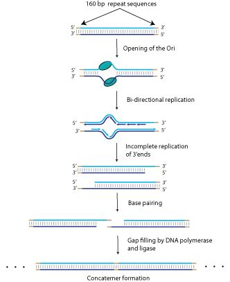 1-Terminase subunits (gp18 and gp19) select the right end