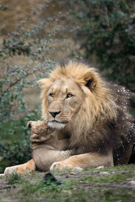 male lion with cub | Another pic from the male lion at Zoo